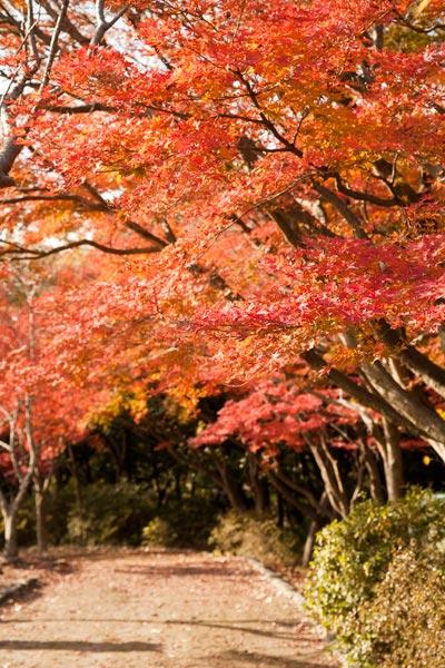 源氏山公園、頼朝像の後ろの歩道を紅葉が囲んでいます。