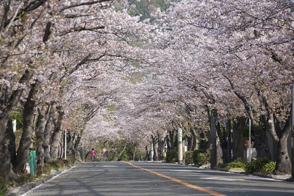 ハイランドの桜。地元向けのスポットですが、名越切通しとあわせれば観光ルートになります。