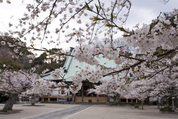 光明寺の桜。材木座のすぐ近くにある浄土宗の大伽藍。潮の香りとともに見事な桜を楽しむことができます。