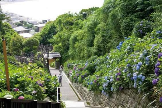 成就院のあじさい。由比ケ浜を望む参道の両側に262株のあじさいが咲きます。