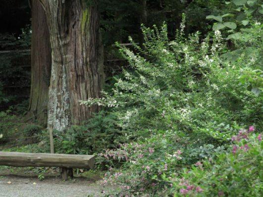 浄智寺本堂前の萩。萩は9月中頃から見頃です。奥にみえているのは市の天然記念物、柏槙(ビャクシン)。