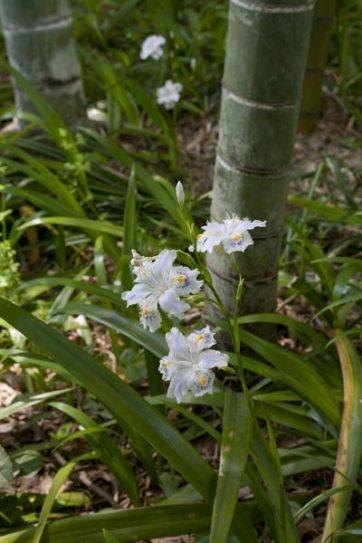 英勝寺はいま竹林を育てています。春には著莪(シャガ)と竹林、伸び始めた筍が同時にみられます。