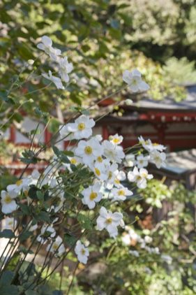 荏柄天神社の秋明菊(シュウメイギク)。神社の朱と白の秋明菊があいます。