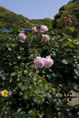 鎌倉文学館の薔薇(バラ)。