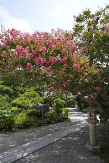 本覚寺の百日紅(サルスベリ)。花木の配置がゆったりしていて見応えがります。