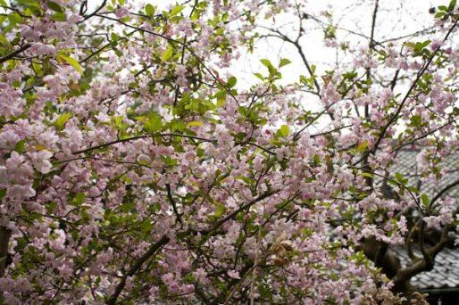 法性寺本堂側にあった桜。