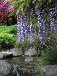 長谷寺の藤。受付を入った池の周囲にある藤。水とあわせてみられます。