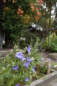 海蔵寺の桔梗(キキョウ)。桔梗の青紫と凌霄花(ノウゼンカズラ)の黄赤色が夏らしい色合いです。