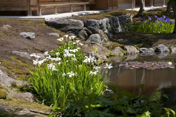 海蔵寺の杜若(カキツバタ)。写真は園芸用の白杜若。
