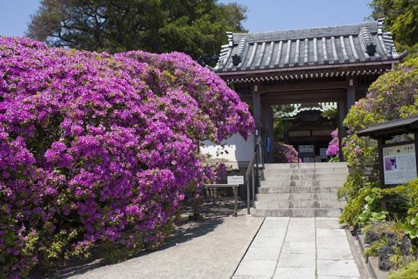 安養院の躑蠋(ツツジ)。鎌倉におけるツツジの代名詞ともいえる安養院門前の風景。