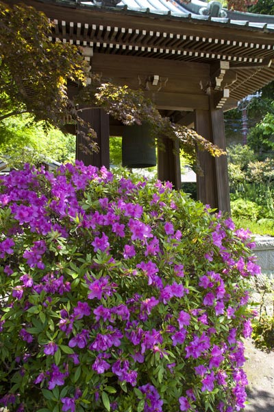 海蔵寺の躑蠋(ツツジ)。美しい境内では四季折々の花木が楽しめます。