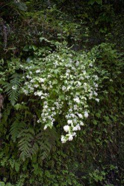 朝比奈切通しのウツギ(空木/卯木)。初夏の爽やかな緑に白い花弁が映えます。