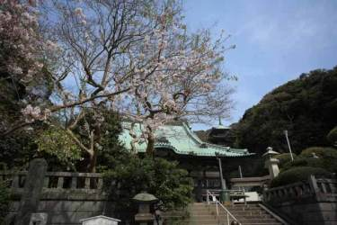 龍口寺本堂と桜。妙見堂の側に咲いています。