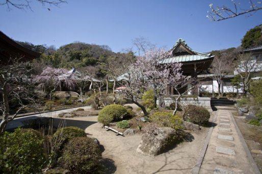 海蔵寺境内。抜群の間隔で植えられた梅。庭師さんの腕に感心します。