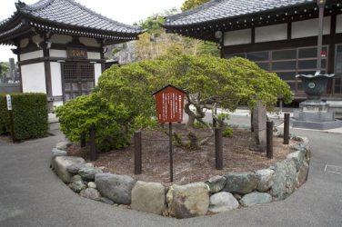 満昌寺本堂前にある源頼朝公手植えと伝わる躑躅(ツツジ)。