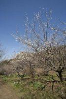 十二所果樹園の梅林。400本以上が丘陵地帯に植えられています。梅林の中を歩いていると身体中が梅の香りに包まれます。
