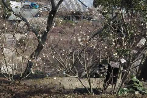 長谷寺の梅。本堂の平場、山門沿いには三椏(ミツマタ)が植えられています。梅が見頃を迎えたころ膨らみ始め、本番はその後です。