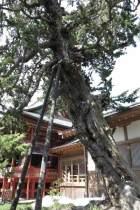 鶴岡八幡宮の柏槙(ビャクシン)。拝殿に上がる階段の手前、若宮の前にあります。鎌倉市指定天然記念物です。