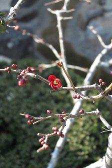 長谷寺の梅。梅の後に咲く木瓜(ボケ)の花。準備万端といった感じ。