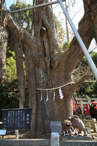 海南神社、源頼朝寄進と伝わる大銀杏(公孫樹)。800年の歴史を感じさせてくれる幹周4.6mの迫力。