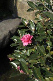 長谷寺の梅。2月から4月に咲く椿は梅の見頃と時期がかぶるので一緒に楽しめます。論蔵前の池にあります。