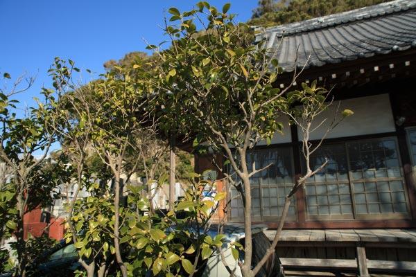 大椿寺本堂前に数本ある椿。