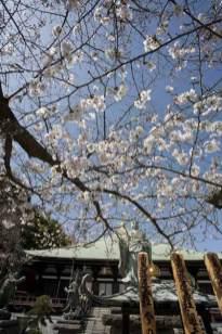 長勝寺の桜。日蓮像に信心をあらわすかように延びます。