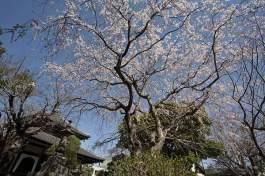 鎌倉の七福神めぐり。春の本覚寺はこの枝垂桜が見所。