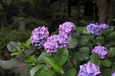 瑞泉寺のあじさい。展望所手前のあじさい。小振りな手まり咲きになった姫アジサイ。