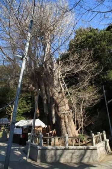 〈頼朝〉源頼朝の愛した三崎めぐり。海南神社。源頼朝が寄進したといわれる大銀杏。凄まじい迫力です。