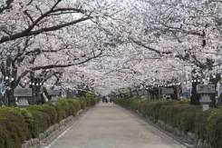 段葛の桜。写真は改修前のものです。植え替えられた桜が育つまで、この景色はしばらくおあずけです。
