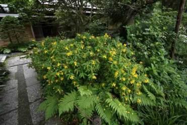 瑞泉寺のあじさい。あじさいと同時期に見られる金糸梅(キンシバイ)。あじさいに黄色はありませんから、目立ちます。