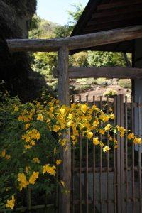 海蔵寺の山吹。桜の咲く頃、鮮やかな山吹色に輝きます。