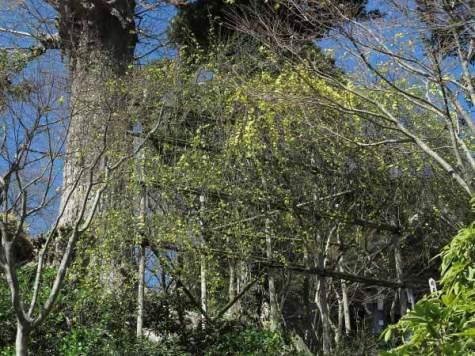 長谷寺の黄梅。梅と共に咲き始め桜とともに見られます。