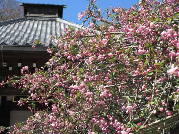 光則寺の海棠は樹齢200年の古木。少し弱っているようで花つきが悪くなっています。それでも森々とした光則寺を包み込むような美しさです。