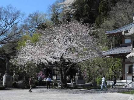 長谷寺大黒堂前の桜。