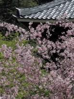妙本寺の海棠(カイドウ)。背後の新緑ともよくあいます。