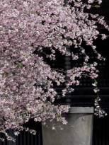 妙本寺の(カイドウ)。花の重みで少し枝垂れます。