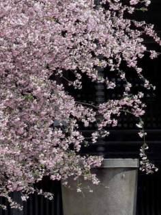 妙本寺の海棠。海棠は下を向いて咲くため枝垂れているようにみえます。
