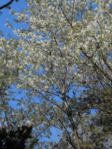 浄智寺のタチヒガン。旬を過ぎてしまい緑が目立ちますが、花が豊かに咲く種であることがわかります。