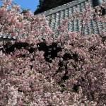 妙本寺の海棠。毬のようにみえます。