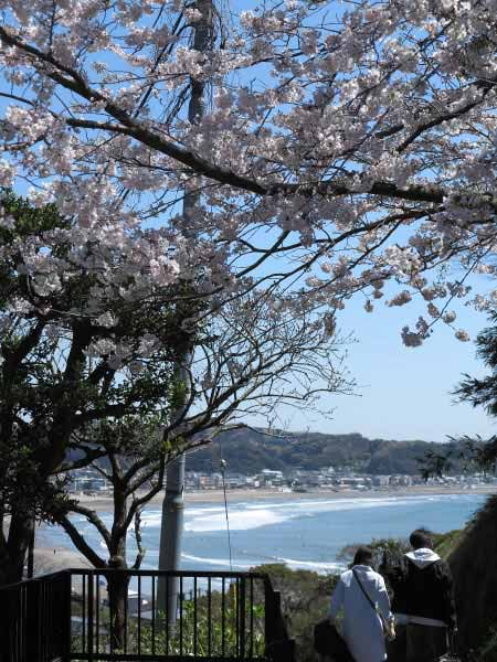 成就院の桜はこの景色が全て。古刹、海、桜が同時に眼界に収まる数少ない桜の名所です。