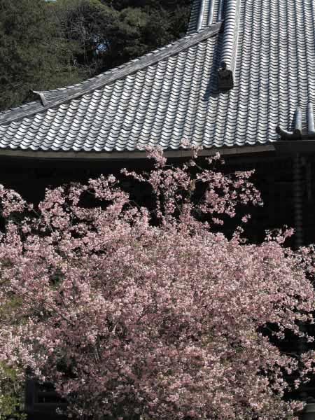 妙本寺の海棠。大きな祖師堂に映えます。