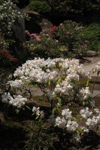 海蔵寺の石楠花。この写真はある年の4月9日。桜のころからふっくらとした花を咲かせます。