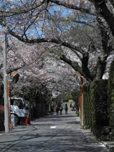 浄妙寺門前の桜。鎌倉駅からバスに乗り「浄明寺」バス停を降りて浄妙寺山門に至る参道に植えられています。