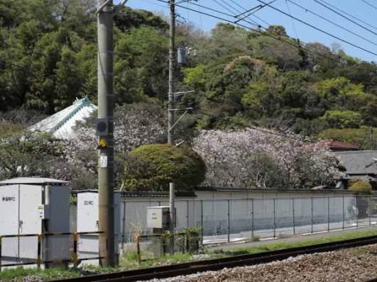 英勝寺の桜。横須賀線を利用する鎌倉見物の皆さんを楽しませ、通勤の人々を和ませます。