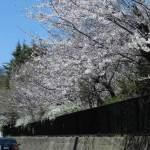 横浜国大附属前の桜。桜の季節、鶴岡八幡宮から頼朝の墓など北東方面に足をのばすならぜひ通っていただきたい道です。