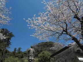 妙本寺の桜は日蓮像を慕うようにのびています。