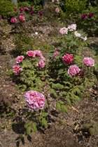 浄妙寺の春牡丹。