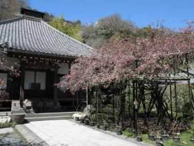 光則寺の海棠は本堂の前にあります。